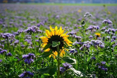 Améliorer son sol avec des engrais verts