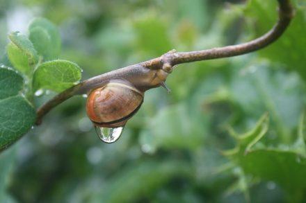 Il pleut…Il mouille c'est la fête à…l'escargot !