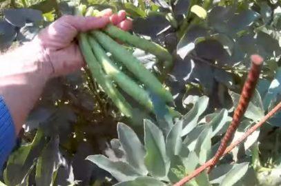 Fin de la récolte de vos fèves et après ?
